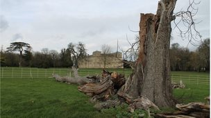 The smashed walnut tree at Lydiard Park in Swindon