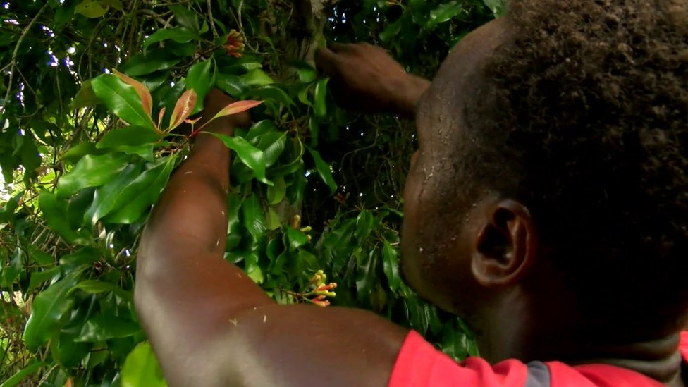 Worker harvesting cloves