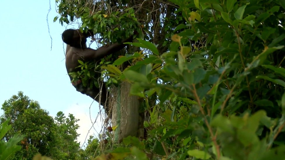 Worker harvesting cloves up a tree