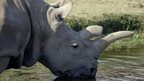 Angalifu, the male white rhino