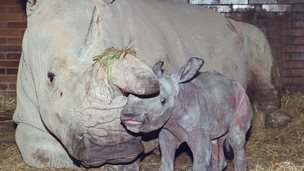 A rare northern white rhino with it's mother at a zoo in the Czech Republic