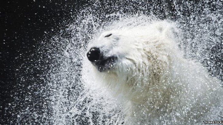 Polar bear shaking water from its coat