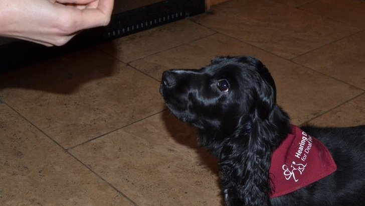 Aster the hearing dog