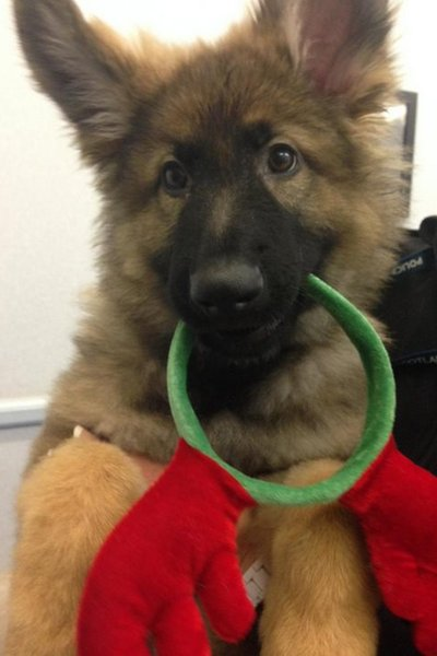 Griffin the German Shepherd