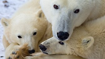 (File photo) A mother polar bear and two cubss