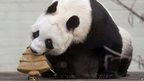 Panda Tian Tian eats a specially made Christmas cake.