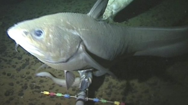 Fish filmed in the Mariana Trench