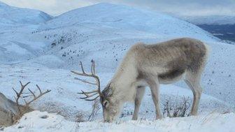 Reindeer in the Cairngorms