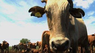 Botswanan cattle