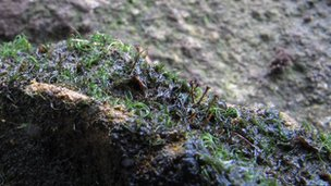 Water-rock bristle