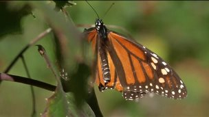 Butterfly millions arrive in Mexico