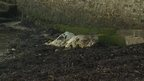 Dead cow left on beach for five days