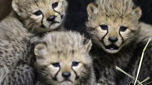 The cheetah cubs