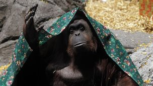 """An orangutan named Sandra, covered with a blanket, gestures inside its cage at Buenos Aires"""" Zoo, in this December 8, 2010 file photo"""