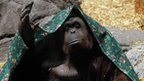 "An orangutan named Sandra, covered with a blanket, gestures inside its cage at Buenos Aires"" Zoo, in this December 8, 2010 file photo"