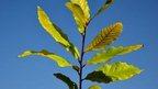 A Castanea tree