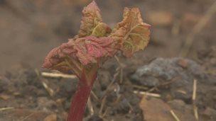 Yorkshire rhubarb