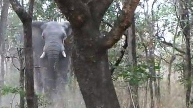 Wildlife guide Manny Mvula confronts an aggressive elephant in Zambia's Kasanka National Park