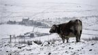 A bull stands in a snow-covered field near the village of Diggle, northern England, on December 27, 2014. Overnight flurries left parts of Britain blanketed in snow on December 27, causing power shortages and delays at airports.