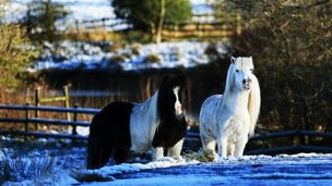 Ponies in snowy field