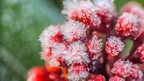 Frost covered berries