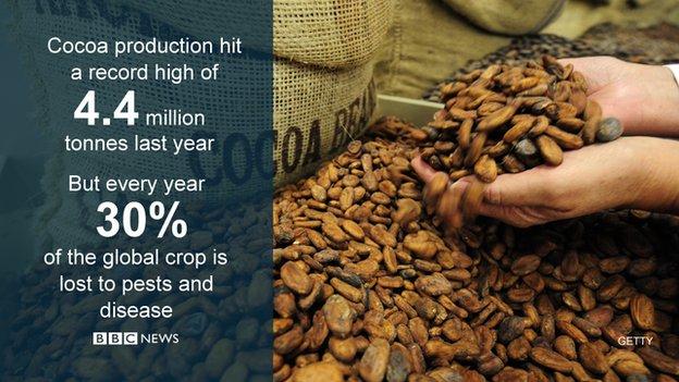 cocoa crop