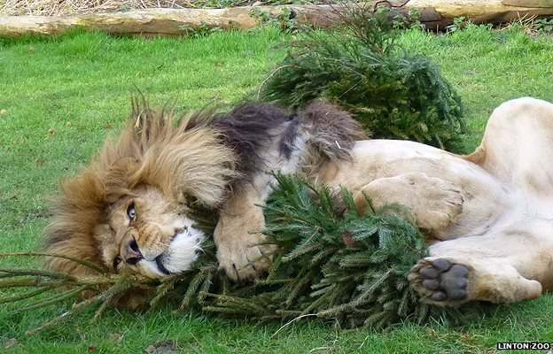 Zuri the lion 'romps' with a Christmas tree
