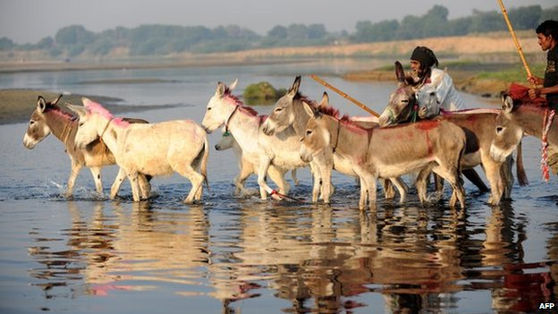 Donkey crossing a river in India