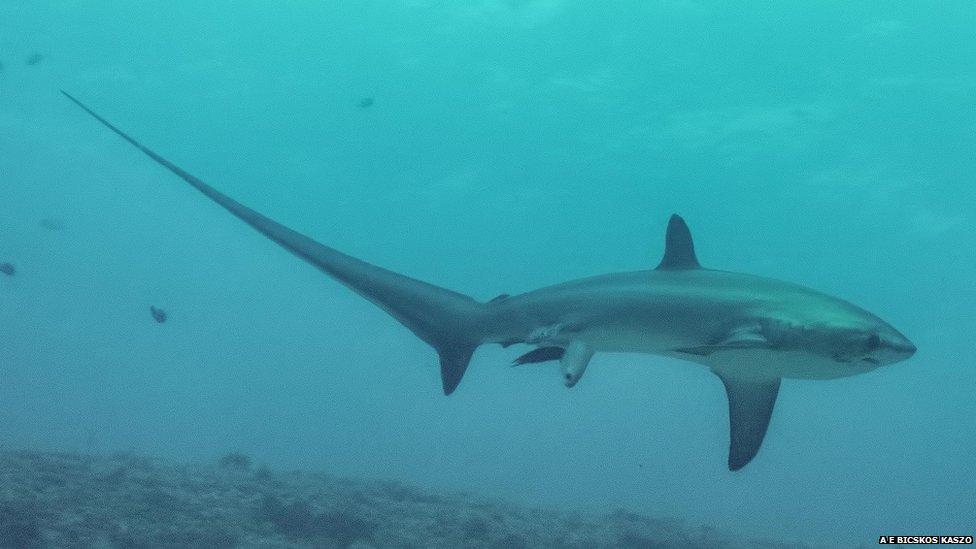 акула рожает