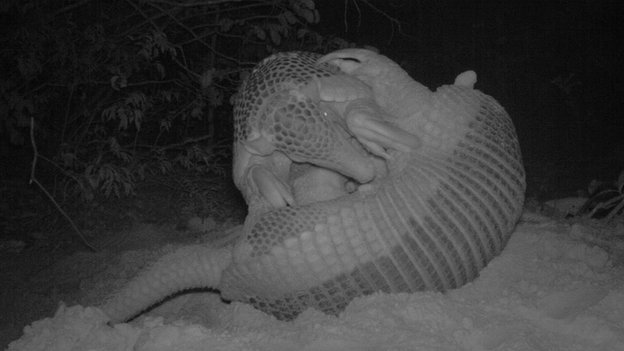 Giant armadillo mother and son interacting