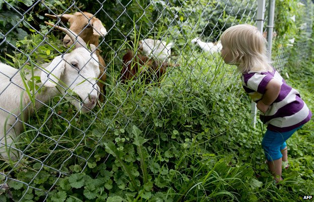 Goats clearing the Congressional cemetery