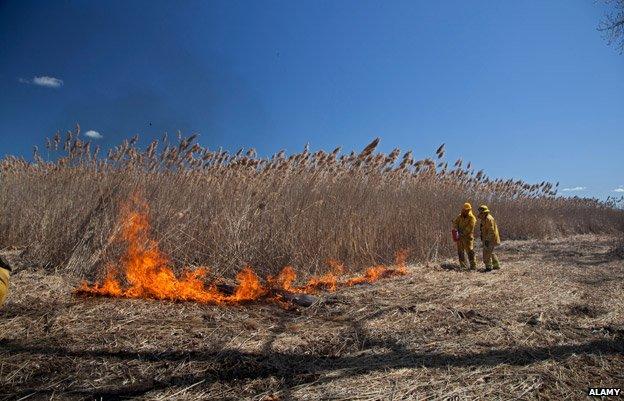 Burning phragmites in Michigan