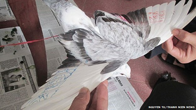 One of the pigeons with markings visible on its wings