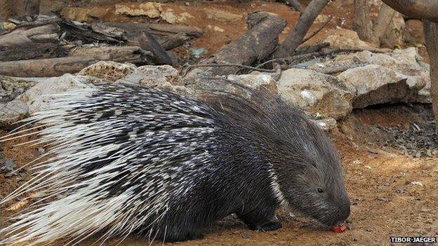 Dorit the porcupine