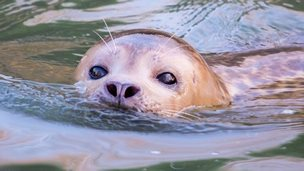 Common seal fishing in the River Welland