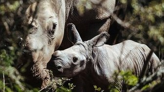 Thandi rhino and calf