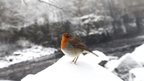 A robin in County Durham
