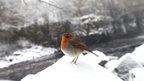 A robin in County Durham