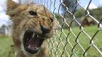 A lion cub snarling
