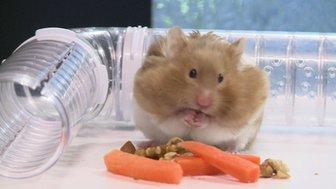 Hampy the hamster