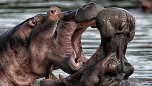 A pair of hippopotamuses fighting (credit: David Santiago Garcia / Getty Images)