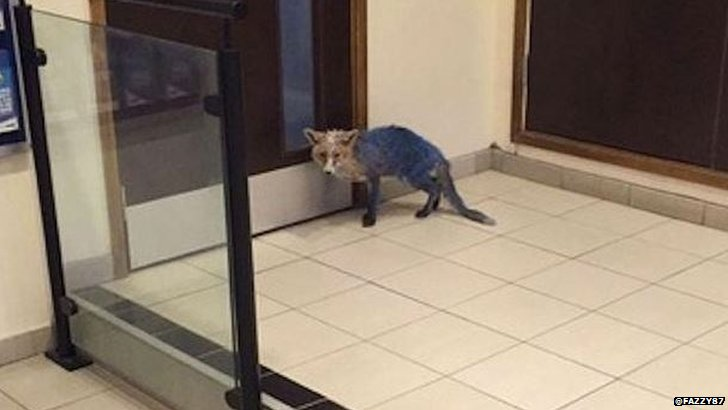 Fox painted blue