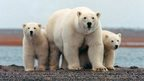Polar bears in Alaskan refuge