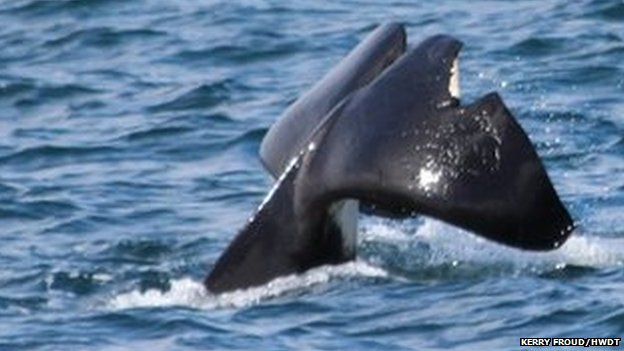 Tail of orca called John Coe