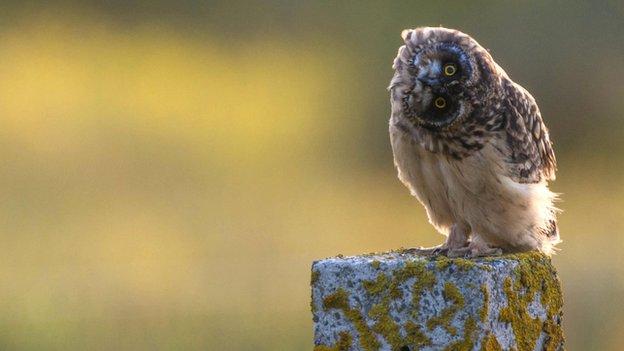 Owl in Orkney