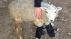Broomie the lamb