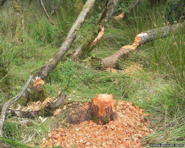 tree trunk gnawed by beavers