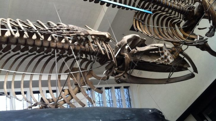 Blue Whale at Natural History Museum