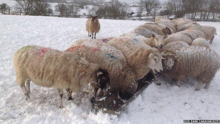 Sheep in Barnard Castle
