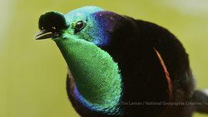 Bird of paradise (credit: naturepl.com)